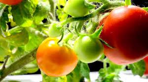 mini tomato macro timelapse click u0026 grow indoor garden youtube