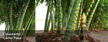 buy ornamental bamboo contribute to ecology preservation