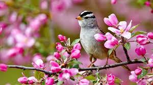 wallpaper download 1920x1080 bird on a blossom branch spring season