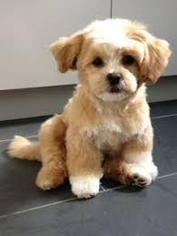 shichons haircut 21 unreal poodle cross breeds you have to see to believe the
