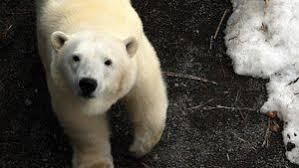 Two Polar Bears In A Bathtub What Color Is A Polar Bear U0027s Fur Reference Com