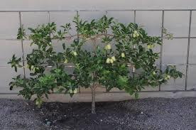 arizona traveler apple tree trellises