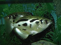 Freshwater Fish Freshwater Fish Kandawgyi Garden Photo Galleries Zoochat