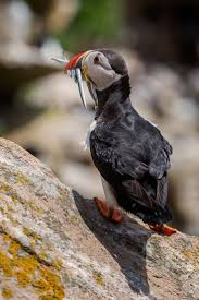 280 best puffin images on pinterest beautiful birds animals and
