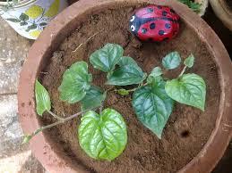 plants growing in my potted garden growing piper betel in pots