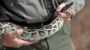 snake hunters descend on florida everglades for python killing