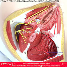 Perineum Anatomy Female Model Anatomy Picture More Detailed Picture About Female