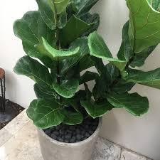 100 rubber fig the 15 easiest indoor house plants that won