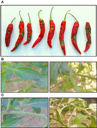 Green Chilli Plant Diseases - frontiers chilli anthracnose the epidemiology and management