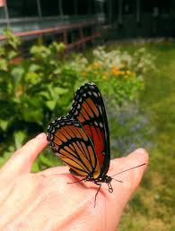 monarch butterfly landed on my animalosu youngs flickr