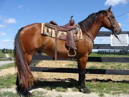 Nice Hourse Big Stout 15 2 Hand Bay Gelding Nice Using Horse Rides Around