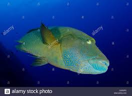 underwater scene of palau coral reefs napoleom wrass fish big
