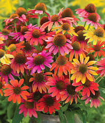 Echinacea Flower Echinacea Seeds And Plants Grow Drought Tolerant Perennial