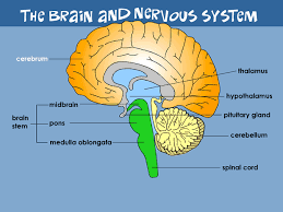 Which Part Of The Brain Consists Of Two Hemispheres Your Brain U0026 Nervous System