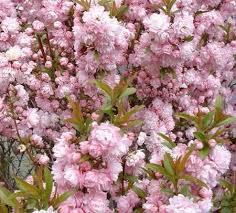 Pink Spring Flowering Shrubs - super 8 spring blooming shrubs