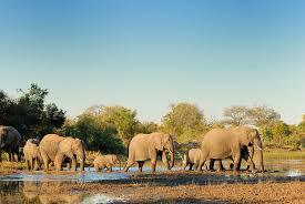 100 elephant herd paint color robert bateman african