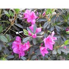 Azalea Topiary Azalea Southern Indica U0027formosa U0027 Shrubs Plant Type Boething