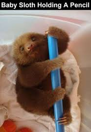 a baby sloth holding a pencil pictures photos and images for