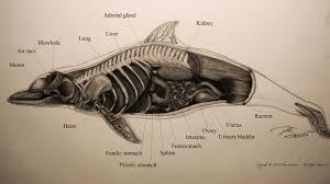 Male Dolphin Anatomy Dolphin Anatomy Szukaj W Google Dolphins Anatomy Pinterest