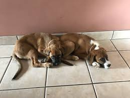boxer x red cattle dog boxer dogs u0026 puppies gumtree australia free local classifieds