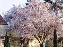 4 flowering cherry trees and how to plant them hgtv