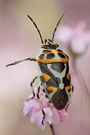 Tiny Red Bugs On Patio by 10 Best Stink U0026 Pill Bugs Images On Pinterest Stink Bugs World