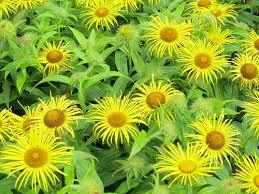 yellow garden flowers uk 11 desktop background hdflowerwallpaper com