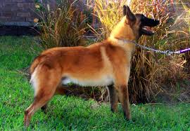 belgian sheepdog massachusetts windrush ranch u0026 kennel