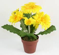 gerbera plant best 25 gerbera plant ideas on front porch flowers