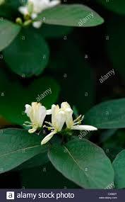 Climbing Plant With Fragrant Flowers Lonicera Ruprechtiana Cream White Yellow Climbers Climbing Shrubs
