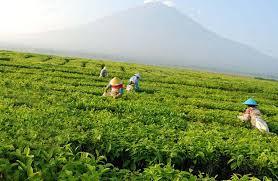 Teh Kayu Aro perkebunan teh kayu aro