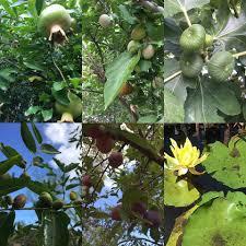 tropica mango rare and exotic tropical fruit tree nursery home