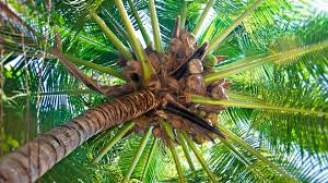 Palm Tree Wallpaper Download Wallpaper 1920x1080 Palm Tree Trunk Cocoes Fruits