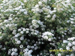 White Flowering Shrub - the 12 best images about shrubs on pinterest hedges pink