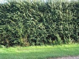 native hedging plants uk 10 hawthorn hedging plants 4 5ft hedges native hawthorne