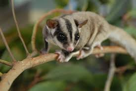 are sugar gliders good pets facts foods carings u0026 behaviours