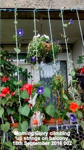 Morning Glory Climbing Plant - on the last day of september summer grows on you