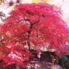 lace leaf japanese maples u2014 sunnyside nursery