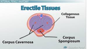 Male Anatomy Video Male Reproductive System External Anatomy Video U0026 Lesson