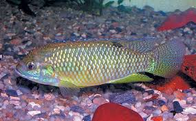rise and fall of ornamental fish culture