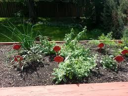 herb garden purple grandma