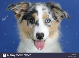 australian shepherd with blue eyes australian shepherd blue merle odd eyed puppy 3 month australian