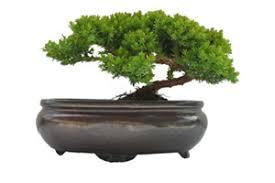 the bonsai company buy bonsai trees pots tools and book