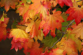 when to prune native plants northwest native plant spotlight u2013 vine maple reclaiming nature