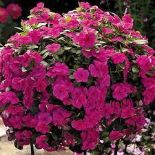 vinca flower cora cascade magenta vinca flower seeds