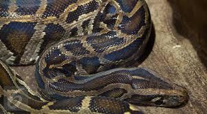 film ular phyton pertarungan maut king kobra vs ular piton siapa yang menang