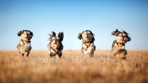 Wallpaper Dog Wallpaper Dog Run Grass Wind Hd Picture Image
