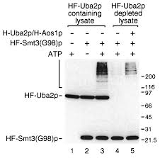 Anti Flag Antibody The Ubiquitin U2010like Protein Smt3p Is Activated For Conjugation To