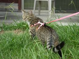 how to walk your cat it u0027s easier than you think petsafe articles
