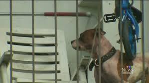 boxer dog kills man dog killed owner in kitchener apartment girlfriend says ctv